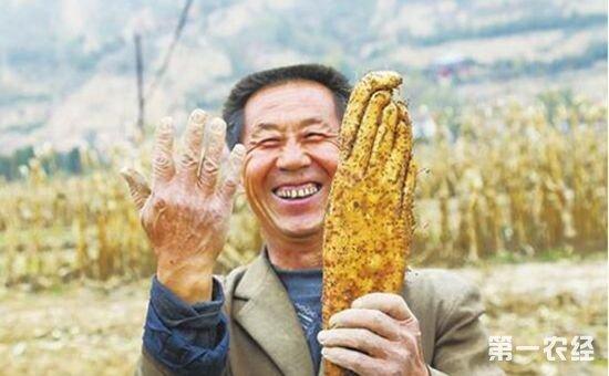 甘肃平凉:农民挖出酷似手掌的怪异山药