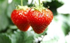 草莓花果期应该如何管理?草莓花果期管理技巧