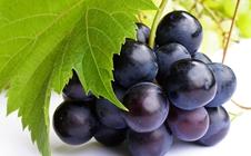 葡萄种植过程中应科学补钙提高果实质量