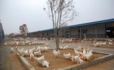 安徽:预计于年底前完成禁养区内畜禽养殖场关闭或搬迁