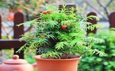 10种具有吸尘效果的盆栽植物介绍!吸尘效果堪比吸尘器