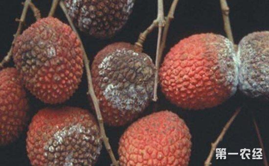 荔枝酸腐病如何防治?荔枝酸腐病的病症和防治方法