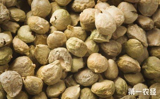 菠菜种子怎么种?菠菜的种子处理技术