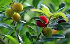 杨梅树什么时候种植?杨梅树的种植时间和方法
