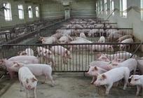 <b>养猪场组织管理有什么问题?养猪场如何规模化?</b>