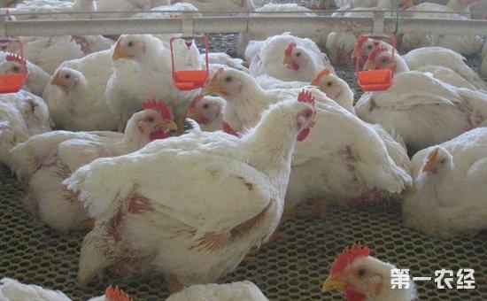 年收入近10万!肉鸡产业促农增收致富效益佳