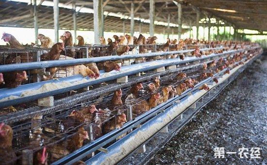 为什么不能使用石棉瓦作为养鸡场的盖顶?