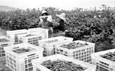 江西乐平市:今年落实蔬菜播面38.1万亩 产量达85.3吨