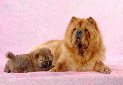 饲养一只松狮犬需要多少钱?