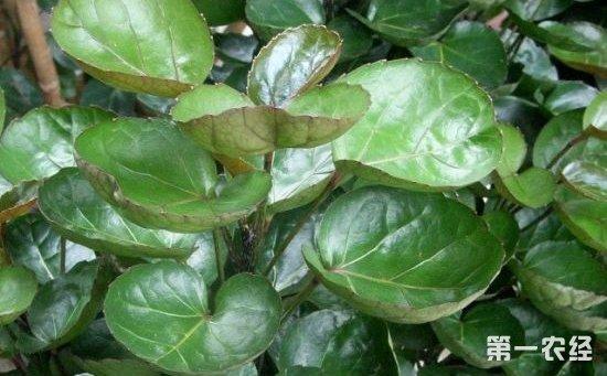 7种叶片圆圆的盆栽植物介绍!养在家里寓意着幸福团圆