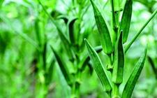 黄秋葵什么时候种植好?黄秋葵的种植时间和方法