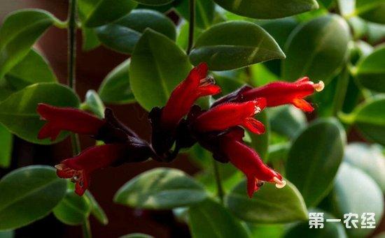 口红花怎么养?口红花的养殖方法和注意事项