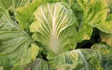 白菜什么时候种植好?秋白菜的种植时间和方法