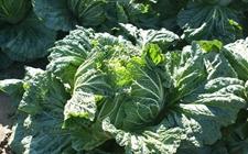 白菜种子怎么种植?白菜种子的处理方法和播种技术