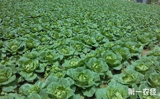 早秋白菜怎么种植?早秋白菜的种植技术视频