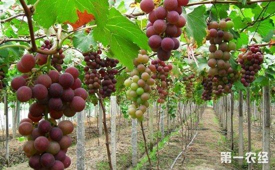葡萄种植:葡萄的秋冬季管理方法