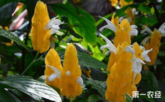 金苞花怎么养?金苞花的养殖方法和注意事项