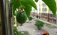阳台如何种植百香果?阳台百香果的种植方法