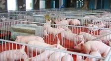猪场建设:设计猪舍七大个原则