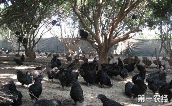 """寻常农家女养鸡有妙招   """"三神器""""助其增收致富"""