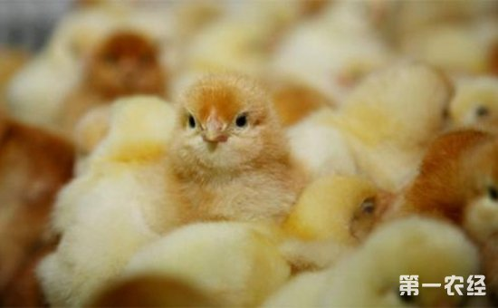 蛋鸡雏鸡适合怎样的饲养环境?