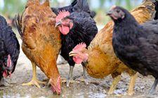 土鸡有哪些采食特点?