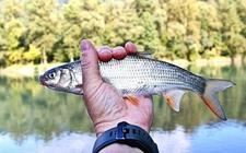 鱼得了细菌性烂鳃病怎么办?鱼类细菌性烂鳃病的治疗