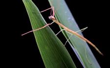 竹节虫是害虫还是益虫?竹节虫怎么伪装自己的?