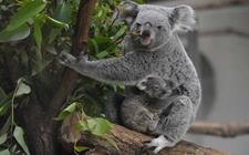 树袋熊的天敌是什么动物?树袋熊有哪些天敌?