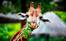 长颈鹿有哪些品种?长颈鹿种类图片大全