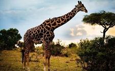 长颈鹿吃什么食物?长颈鹿的保护级别是几级?