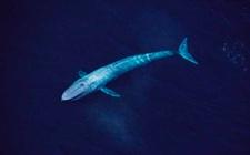 蓝鲸是一种什么动物?蓝鲸的资料有哪些?