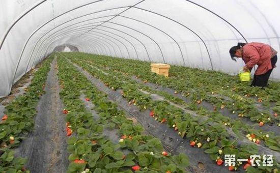 辽宁辽阳县合作社开创了甜水乡发展温室草莓的先河