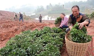 "<b>种茶大户计划种500亩茶 想把茶山变成""金山""</b>"
