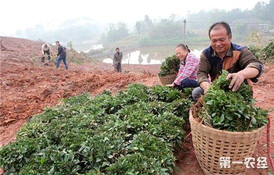 """种茶大户计划种500亩茶 想把茶山变成""""金山"""""""