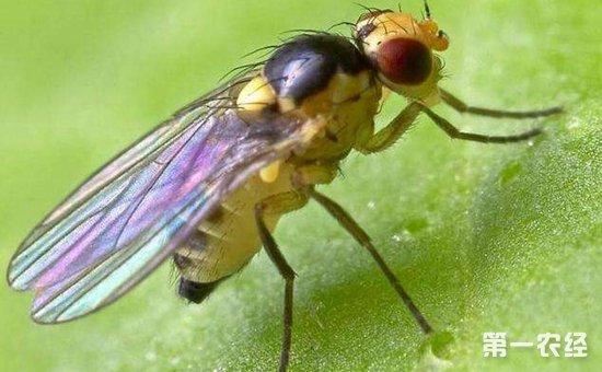 黄秋葵染上病虫害怎么办?黄秋葵常见病虫害的防治方法