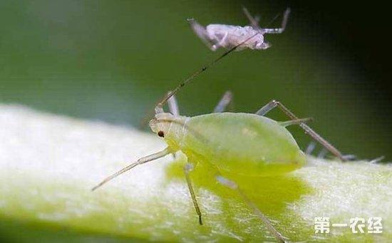 高粱病虫害有哪些?高粱常见病虫害的识别与防治