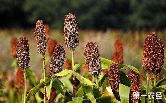 高粱种子多少钱一斤?高粱种子的播种方法