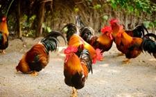 养鸡持续给料会有哪些危害?