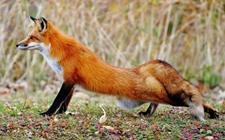 狐狸的天敌是什么动物?狐狸的天敌有哪些?