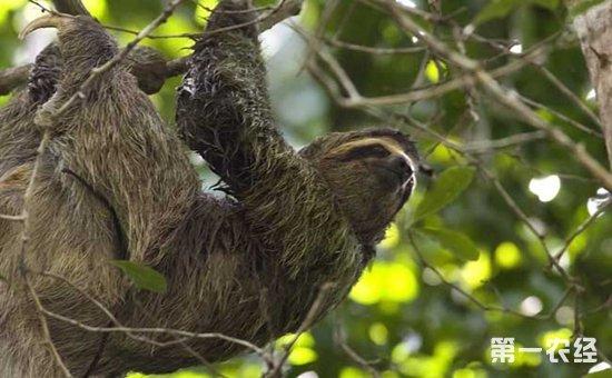 树懒为什么没灭绝_树懒为什么这么慢?树懒的移动有多慢?树懒为什么没灭绝