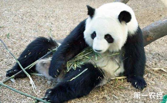 大熊猫的生活习性是怎样的?大熊猫的生活特点介绍