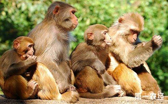 疣猴算得上是猴类中最漂亮的了,因为它们身上的毛色多种多样,长得也十分滑稽可笑。它们的臀疣很小,尾巴很长,尾巴端部常有一撮毛,有的还成球状,颊囊也比一般猴子小,拇指已退化成一个小疣,故称疣猴。有的生活在茂密的丛林里,有的生活在接近草原的树林中,主要吃植物的嫩芽和叶,同时也吃野果和谷物。每群疣猴9~13只不等,由成年雄性率领,用宏亮的声音来保卫它们的领地。动作灵敏,能在树枝之间做长距离的跳跃。由于毛皮漂亮而遭到人类贪婪而放肆地捕杀,非洲各国已把疣猴列为珍贵保护动物。那么,猴子的种类有哪些呢?猴子主要有哪些