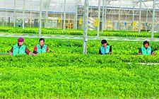 英国杂志称有机农业或可以满足全球的食物需求同时实现可持续发展