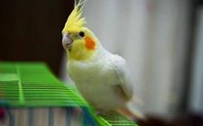 适合新手饲养的玄凤鹦鹉多少钱一只?