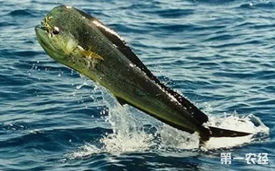 秘鲁渔业部门将评估巨鱿和鲯鳅资源