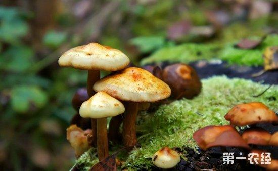 三亚:切勿采摘食用野生蘑菇  禁止经营加工毒蘑菇