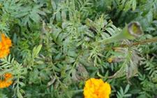 <b>万寿菊常见病虫害的危害及防治方法</b>