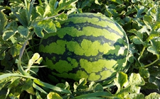 西瓜什么时候种植好?西瓜的种植时间和方法