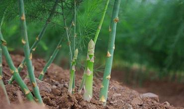 芦笋什么时候种植?芦笋的种植时间和方法
